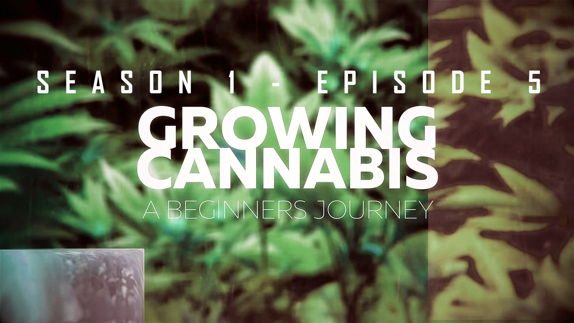 From Clones to Curing: A Beginner's Journey in Cultivating Cannabis #5 – Harvest and Cure
