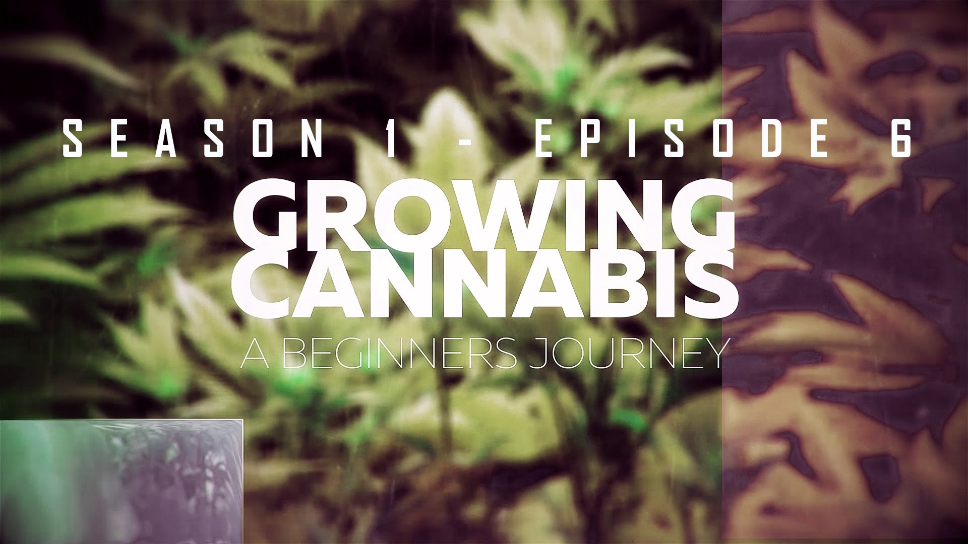From Clones to Curing: A Beginner's Journey in Cultivating Cannabis #6 – Crop Overview/ Testing