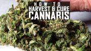 Seeds-Soil-Sun-Ep-5-Harvest-and-Cure-Thumbnail