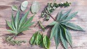 How Fresh Herbs Marry Cannabis Flavors In Edibles Thumbnail