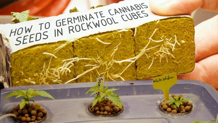 How To Germinate Cannabis Seeds in Rockwool Cubes for Hydroponics